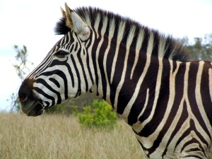 Zebra head (Morguefile)